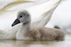 Mute swan (Cygnus olor) cygnet  on water near parent's wings, Franche Comte, France, May 2016  -  Benjamin  Barthelemy