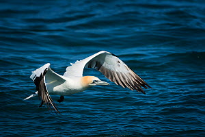 Gannet (Morus bassanus) adult take off, Ile Rouzic Natural Reserve, Sept Iles, Côtes d'Armor, Brittany, France, May 2016  -  Benjamin  Barthelemy