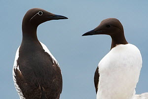 Two Common guillemot (Uria aalge) face to face, one bridled guillemot morph with white ring around the eye and one common guillemot, Farne Island bird cliff, Northumberland, UK. June 2016  -  Benjamin  Barthelemy