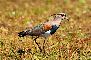 Southern Lapwing (Vanellus chilensis), Pantanal, Brazil. Taken on location for BBC Wild Brazil series.  -  Barrie Britton
