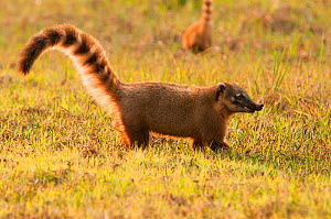 South American Coati (Nasua nasua), Fazenda baia das Pedras, Pantanal, Brazil. Taken on location for BBC Wild Brazil series.  -  Barrie Britton
