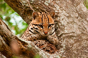 Ocelot (Leopardus pardalis), Fazenda Baia das Pedras, Pantanal, Brazil. Taken on location for BBC Wild Brazil series.  -  Barrie Britton