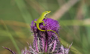 Green anole lizard (Anolis carolinensis) on top of a thistle flower where it had been licking nectar, Cedar Key, Levy County. Florida, USA April  -  Roger Powell