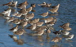 Short-billed dowitchers (Limnodromus griseus) among other migrant shorebirds, Cedar Key, Levy County, Florida, USA April - Roger Powell