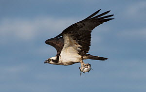 Osprey (Pandion haliaetus) male displaying by flying past with a Flathead grey mullet (Mugil cephalus) in its talons. Cedar Key, Levy County, Florida, USA April  -  Roger Powell