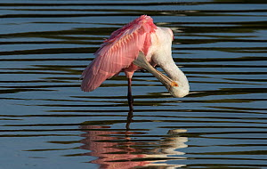 Roseate spoonbill (Platalea ajaja) preening wing feathers, whilst standing at the waters edge. Cedar Key, Levy County, Florida, USA, April - Roger Powell