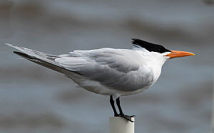 Royal tern (Sterna maxima) in breeding plumage, resting on a post, Cedar Key, Levy County, Florida, USA April  -  Roger Powell