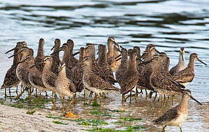 Short-billed dowitchers (Limnodromus griseus) migratory flock on the tideline, Cedar Key, Levy County, Florida, USA, April - Roger Powell