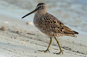 Short-billed dowitcher (Limnodromus griseus) walking along the sandy tideline, Cedar Key, Levy County, Florida, USA, April - Roger Powell