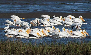 American white pelicans (Pelecanus erythrorhynchos) large flock group feeding by encircling fish trapped by the falling tide, Cedar Key, Levy County, Florida, USA, April - Roger Powell