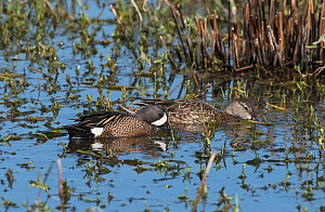 Blue-winged teal (Anas discors) male escorting female while feeding, La Chua Trail, Payne Priarie Reseve, Gainsville, Florida, USA, April  -  Roger Powell