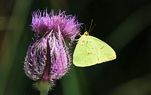 Cloudless sulphur butterfly (Phoebis sennae) feeding on nectar from a thistle flower head, Cedar Key, Levy County, Florida, USA, April - Roger Powell