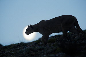 Mountain lion (Puma concolor) silhouetted, Torres del Paine. Patagonia, Puerto Natales, Chile.  -  Jose B.  Ruiz