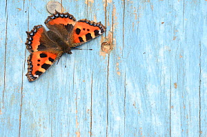 Small tortoiseshell butterfly (Aglais urticae) resting on old painted door. Dorset, UK, August  -  Colin Varndell