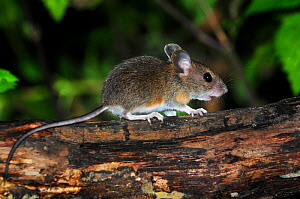 Juvenile Wood mouse (Apodemus sylvaticus) on branch, Dorset, UK, September  -  Colin Varndell
