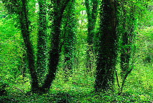 Ivy (Hedera helix) covered tree trunks in Knight Wood, Hampshire, UK, October. - Colin Varndell