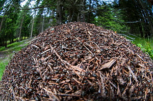 Wood ant nest (Formica rufa) constructed from pine needles and other debris from the forest floor. Nordtirol, Austrian Alps, Austria, July. - Nick Garbutt