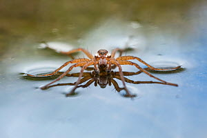 Raft spider (Dolomedes fimbriatus) resting on water's surface. Nordtirol, Tirol, Austian Alps, Austria. July. - Nick Garbutt