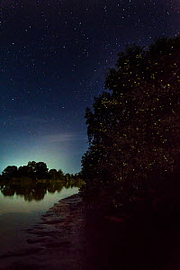 Synchronous fire flies (Pteroptyx sp.) mangroves along the Kinabatangan River, Sabah, Borneo.  -  Nick Garbutt