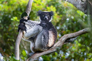 Indri (Indri indri) resting in forest canopy. Mantadia National Park, Madagascar. Endangered. - Nick Garbutt