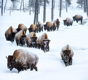 Herd of American bison (Bison bison) in snow, Yellowstone National Park, Wyoming, Yellowstone, January.  -  Nick Garbutt