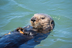 R F- California sea otter, (Enhydra lutris nereis) eating a mussel. Elkhorn Slough, Moss Landing, California, United States, Eastern Pacific. Threatened species. (This image may be licensed either as...  -  Doug Perrine
