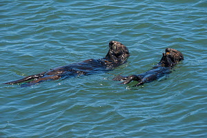 RF - California sea otter or southern sea otter, (Enhydra lutris nereis) female and pup share meal of mussels the mother has collected. Elkhorn Slough, Moss Landing, California, United States, Eastern...  -  Doug Perrine