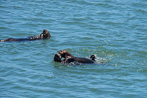 Male California sea otter (Enhydra lutris nereis) play fighting with a pup, with a female feeding in the background, Elkhorn Slough, Moss Landing, California, USA, June.  -  Doug Perrine