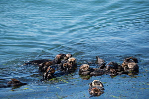 Group of California sea otters (Enhydra lutris nereis) resting in a raft at the edge of a bed of Eel grass (Zostera) Morro Bay, California, USA, June.  -  Doug Perrine