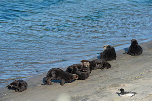 California sea otters (Enhydra lutris nereis) basking on a beach, with a Great northern diver (Gavia immer) nearby, Elkhorn Slough, Moss Landing, California, USA, June. - Doug Perrine