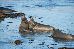 Northern elephant seals (Mirounga angustirostris) young males sparring in the shallows, practising for battles for mating rights when they are older, Piedras Blancas, California, USA June - Doug Perrine