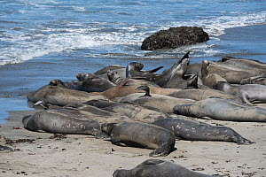 Northern elephant seals (Mirounga angustirostris) subadult males basking on beach during annual moult, with several showing multiple scars from bites of Cookie cutter sharks and from fights with other...  -  Doug Perrine