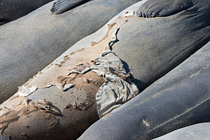 Northern elephant seal (Mirounga angustirostris) fur peels off a seal as it undergoes its annual moult, termed a catastrophic moult, because a layer of skin comes off with the fur and intense hormonal... - Doug Perrine