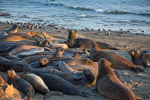 Northern elephant seals (Mirounga angustirostris) mostly young males crowd the beach as they undergo their annual moult, Piedras Blancas, California, USA June - Doug Perrine