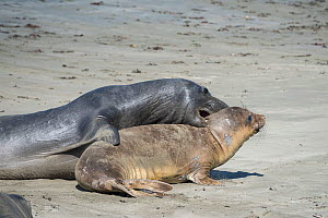 Northern elephant seals (Mirounga angustirostris) a large aggressive subadult male (dark) exerts its dominance by climbing onto and biting a younger, smaller individual, Piedras Blancas, California, U... - Doug Perrine
