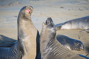 Northern elephant seals (Mirounga angustirostris) young males sparring, practising for battles for mating rights when they are older, Piedras Blancas, California, USA June - Doug Perrine