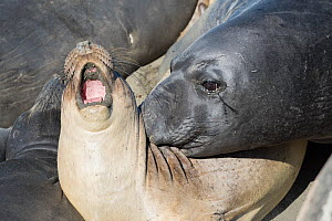 Northern elephant seals (Mirounga angustirostris) large aggressive subadult male exerts its dominance by biting a younger, smaller individual, which howls in protest, while seals are hauled out on the... - Doug Perrine