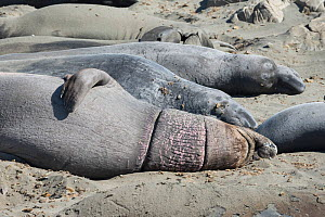 Northern elephant seal (Mirounga angustirostris) male on the beach for its annual moult, displays ring scars from encircling debris, possibly caused by monofilament fishing net or by packing straps fr...  -  Doug Perrine
