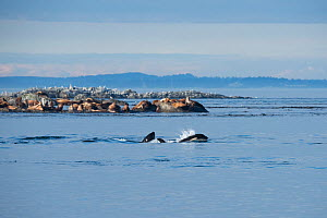 Killer whales / Orca (Orcinus orca) residents swim past a mixed colony of Steller sea lions (Eumetopias jubatus) and California sea lions (Zalophus californianus) by Race Rock, off southern Vancouver...  -  Doug Perrine