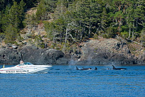 Whale researcher Ken Balcomb photographs southern resident Killer whales / Orca (Orcinus orca) from a superpod passing by his research boat, off southern Vancouver Island, British Columbia, Strait of...  -  Doug Perrine