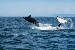 RF-  Killer whale / orca (Orcinus orca) southern resident juvenile breaches whilst adult tail slaps surface. Southern Vancouver Island, Strait of Juan de Fuca, British Columbia, Canada, September. (Th...  -  Doug Perrine
