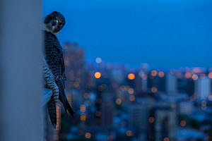 Peregrine falcon (Falco peregrinus)  peering from behind balcony at twilight, Chicago, USA, May 2015. Highly commended in the GDT Awards Competition 2016.  -  Luke Massey