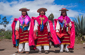 Indigenous Salasaca Indians in colourful garments, celebrating the Inti Raymi festival - or Festival of the Sun, Salasaca, Andes, Ecuador, June 2004.  -  Pete Oxford