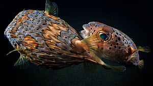 Long-spine porcupinefish (Diodon holocanthus) male pursuing a female fish to mate, Lembeh Strait, North Sulawesi, Indonesia  -  Tony Wu