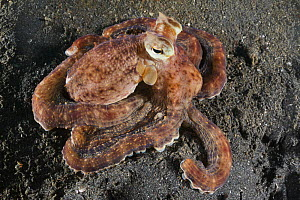 Mimic octopus (Thaumoctopus mimicus) sitting on dark sand muck in Lembeh Strait, North Sulawesi, Indonesia  -  Tony Wu
