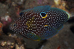 Comet (Calloplesiops altivelis) an elegant, cryptic fish that possesses a false eye on its dorsal fin, probably to mislead predators, Lembeh Strait, North Sulawesi, Indonesia - Tony Wu