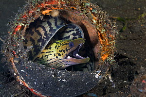 Fimbriated moray eel (Gymnothorax fimbriatus) curled up in discarded paint can in the muck of Lembeh Strait, North Sulawesi, Indonesia.  -  Tony Wu