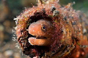 Small moray eel (Gymnothorax sp) covered with parasites, hiding in a bottle in the muck of Lembeh Strait, North Sulawesi, Indonesia - Tony Wu