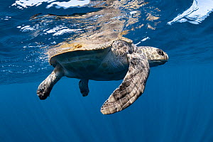 Female olive ridley turtle (Lepidochelys olivacea) recovering at the surface after being cut free from entanglement in a very large ghost fishing net in the Indian Ocean. After we cut the lines and re... - Tony Wu