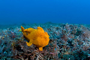 Painted frogfish (Antennarius pictus) in muck environment in Lembeh Strait, North Sulawesi, Indonesia.  -  Tony Wu